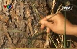 """""""Công nghệ"""" phá rừng bằng cách khoan gốc, tiêm hóa chất để cây chết dần"""