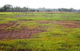 700.000ha lúa tại ĐBSCL bị ảnh hưởng bởi hạn, mặn