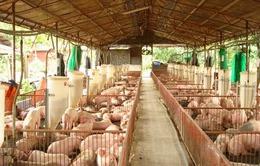 Giá lợn hơi tăng thúc đẩy việc tái đàn