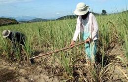 Phú Yên: Hơn 5.500 ha cây trồng bị khô hạn nặng