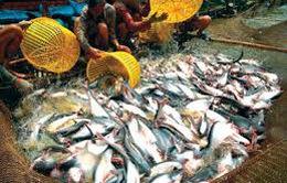 ĐBSCL: Giá cá tra tăng, người nuôi vẫn lo