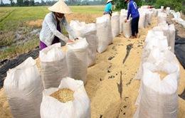 Đồng Tháp: Nông dân tham gia cánh đồng liên kết khó bán lúa