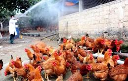 Cà Mau chi 9 tỷ đồng phòng, chống dịch cúm gia cầm