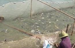 Chính sách tín dụng mới với người nuôi tôm, cá tra