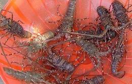 Phú Yên: Mất 30 tỉ đồng trong 10 ngày vì tôm hùm chết hàng loạt
