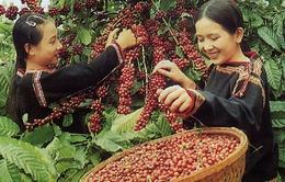 Việt Nam sẽ xuất khẩu khoảng 1,5 triệu tấn cà phê năm 2014