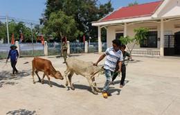 Đăk Lăk tiếp nhận gói hỗ trợ 1.000 con bò giống cho hộ nghèo
