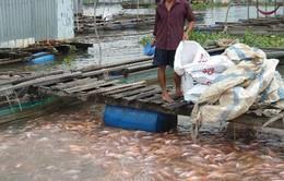 Giá cá điêu hồng tại Tiền Giang bất ngờ tăng trở lại