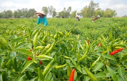 Nông sản miền Tây đồng loạt rớt giá