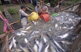Giá cá tra ở ĐBSCL giảm mạnh