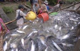 Ban hành Nghị định mới về nuôi, chế biến và xuất khẩu cá tra