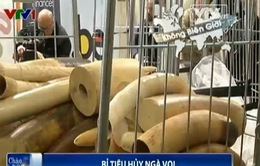 Bỉ tiêu hủy 1,5 tấn ngà voi