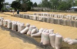 ĐBSCL: Lúa Hè Thu tiêu thụ chậm, giá giảm