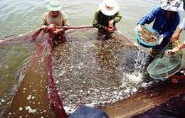 Cấm nuôi tôm chân trắng trong vùng nước ngọt