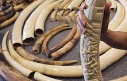 Phát hiện 90kg ngà voi châu Phi đội lốt thực phẩm vào Việt Nam