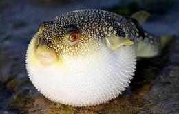 Khuyến cáo đề phòng ngộ độc cá nóc