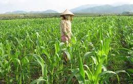 ĐBSCL: Chuyển đổi nhiều diện tích đất lúa sang trồng màu