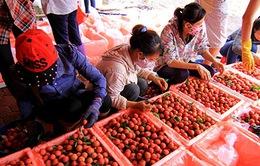 Vải thiều xuất khẩu qua cửa khẩu Lào Cai thuận lợi