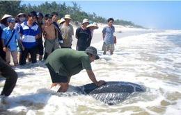 Quảng Bình thả rùa quý hiếm về biển