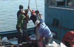 Khai thác cá ngừ: Nghịch lý giữa thu nhập và sản lượng