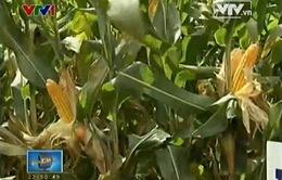 Cần câu trả lời dứt khoát cho cây trồng biến đổi gen