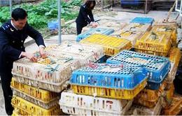 Lào Cai: Bắt 2 tấn gà nhập lậu từ Trung Quốc