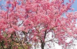 Công bố Lễ hội hoa Anh đào - Hạ Long 2013