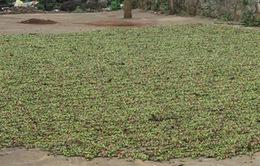 Thu hoạch cà phê xanh: Người trồng tự đánh mất thương hiệu