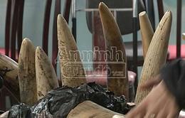 Bắt giữ gần 150kg ngà voi qua sân bay Nội Bài