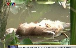 Phê bình 5 Chủ tịch xã để tình trạng vứt xác gia cầm xuống kênh