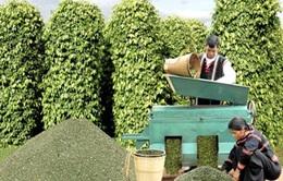 Người trồng hồ tiêu tất bật vào vụ thu hoạch