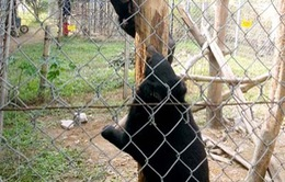 Bàn giao hai cá thể gấu ngựa cho Trung tâm Cứu hộ Gấu Việt Nam