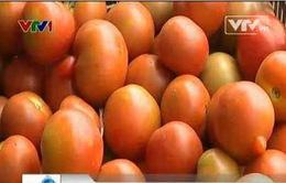 Nghịch lý cà chua làm thức ăn cho gia súc