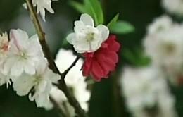 Lạ kỳ cây đào nở hoa 3 màu ở Trung Quốc