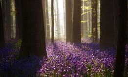 Rực rỡ sắc hoa Chuông xanh ở những khu rừng nước Bỉ
