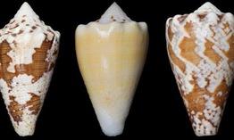 Độc tố ốc sên biển có thể dùng làm thuốc giảm đau