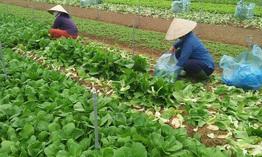Hà Nội dự kiến thu thêm 2000 tỷ mỗi năm từ sản xuất rau sạch