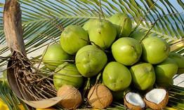 Chuyện nhà nông với nông nghiệp: Tam Quan xanh lại những vườn dừa
