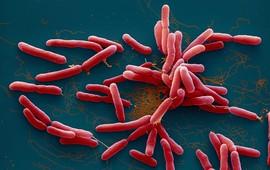 """Vi khuẩn Whitmore - """"Sát thủ"""" ăn thịt tái xuất"""