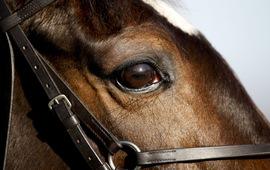 Lần đầu tiên phát hiện một chủng virus corona lây nhiễm trên ngựa