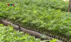Quảng Nam tạo sinh kế vùng cao qua dự án trồng song mây