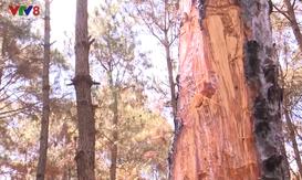 Tìm giải pháp ngăn chặn việc xâm hại rừng thông