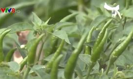 Kon Tum: Chuyển đổi diện tích trồng lúa bị hạn