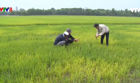 Thừa Thiên - Huế: Nhiều diện tích lúa bị chết do nhiễm mặn
