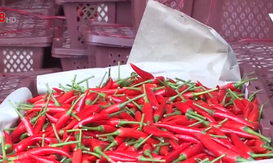 Thu mua ớt cấp đông chờ xuất khẩu