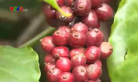 Đắk Nông: Giải pháp nâng cao năng suất, chất lượng cà phê