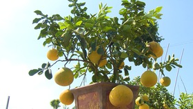 Chile opens its market to Vietnamese grapefruit