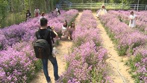 Sống ảo tại vườn hoa thạch thảo tím rịm