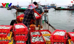 Ngư dân Quảng Ngãi trúng mùa cá nục
