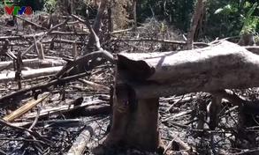 Bùng phát nạn phá rừng lấy đất trồng keo ở Quảng Nam